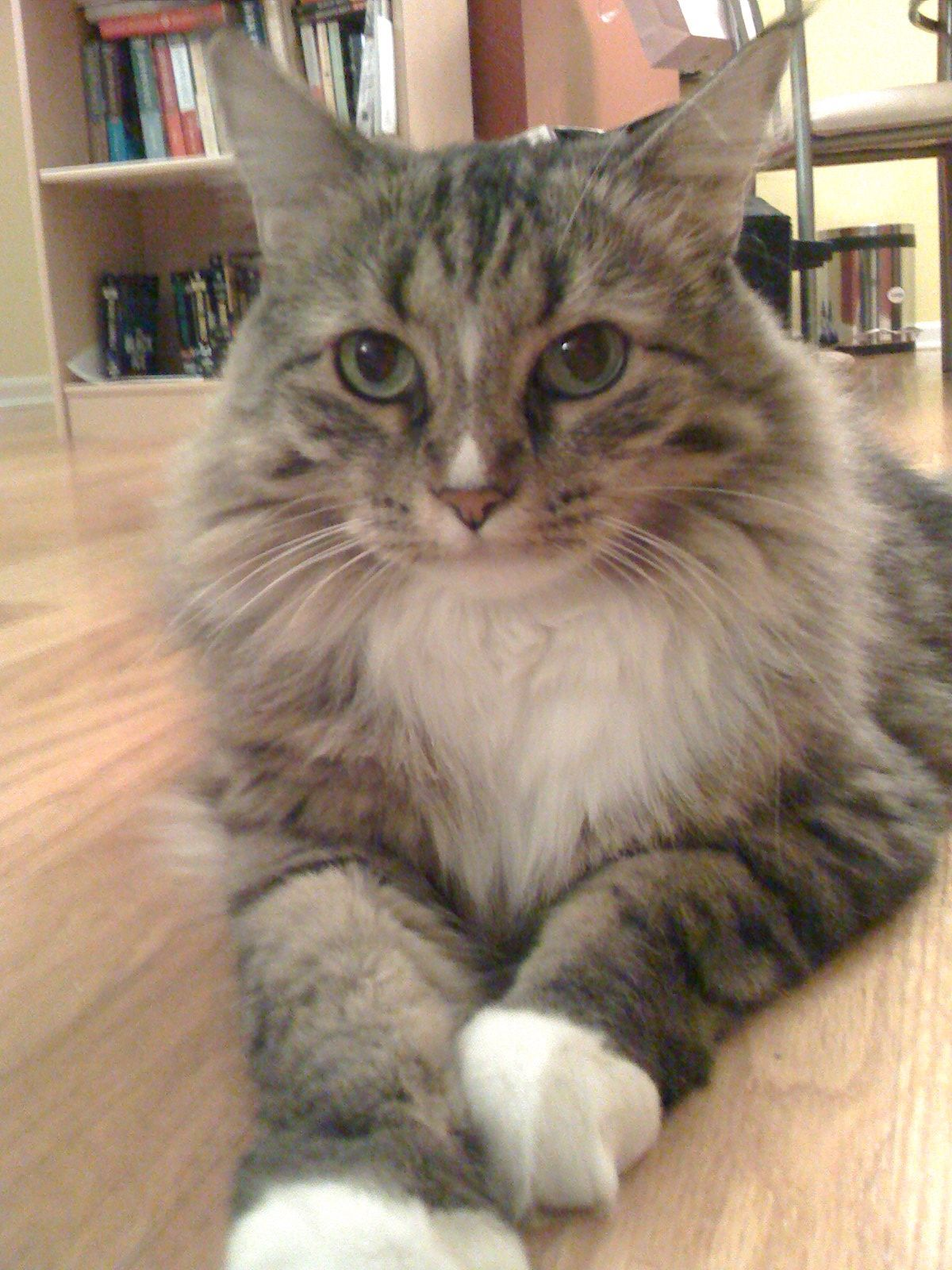 Pin On Maine Coon Cat