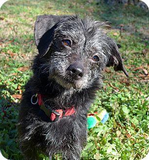 Mocksville Nc Dachshund Patterdale Terrier Fell Terrier Mix