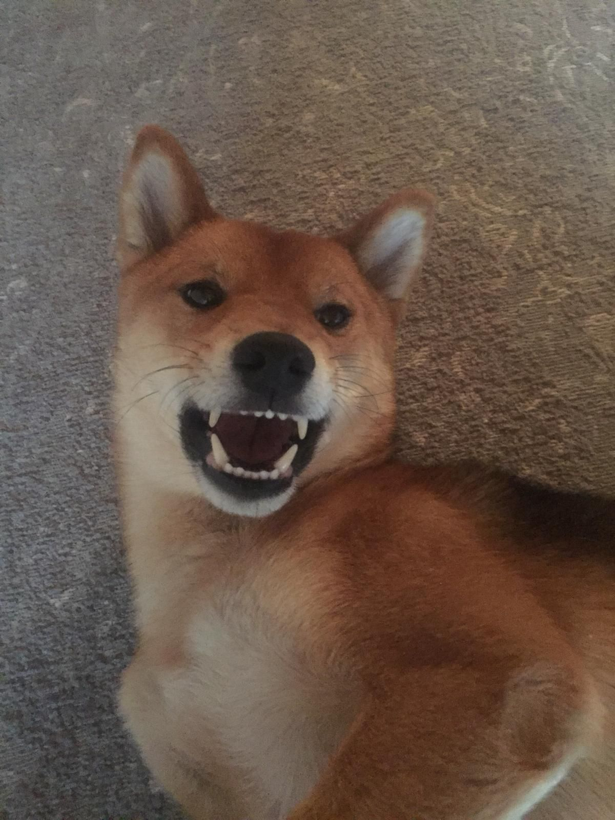 Angry Shiba Please Donate Us Hello There Bright People Are You Doglover Or Have You Any Pretty Dogs I Think You Love A Pup Shiba Dog Lovers Cat Store