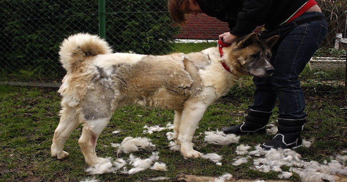 Top 10 Worst Shedding Dog Breeds To Own Dog breeds, Dogs