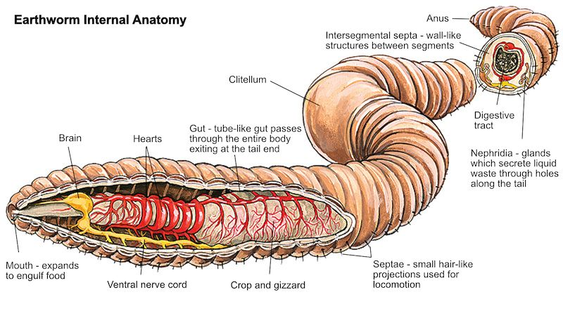 Worms are the intestines of the Earth - anatomy of an earthworm ...