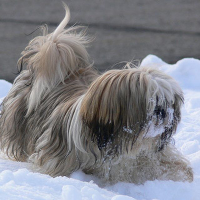 An unclipped shih tzu's coat will quickly become unmanageable.