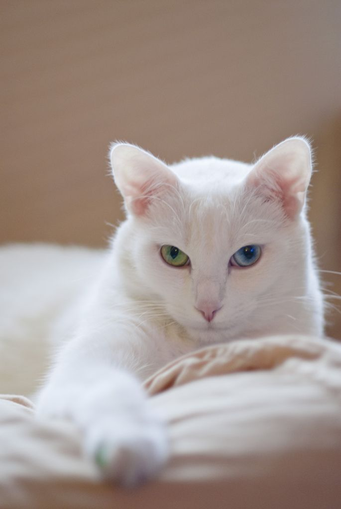 Hair On Your Pillow You Can T Imagine How Little I Care Cats White Cats Pretty Cats