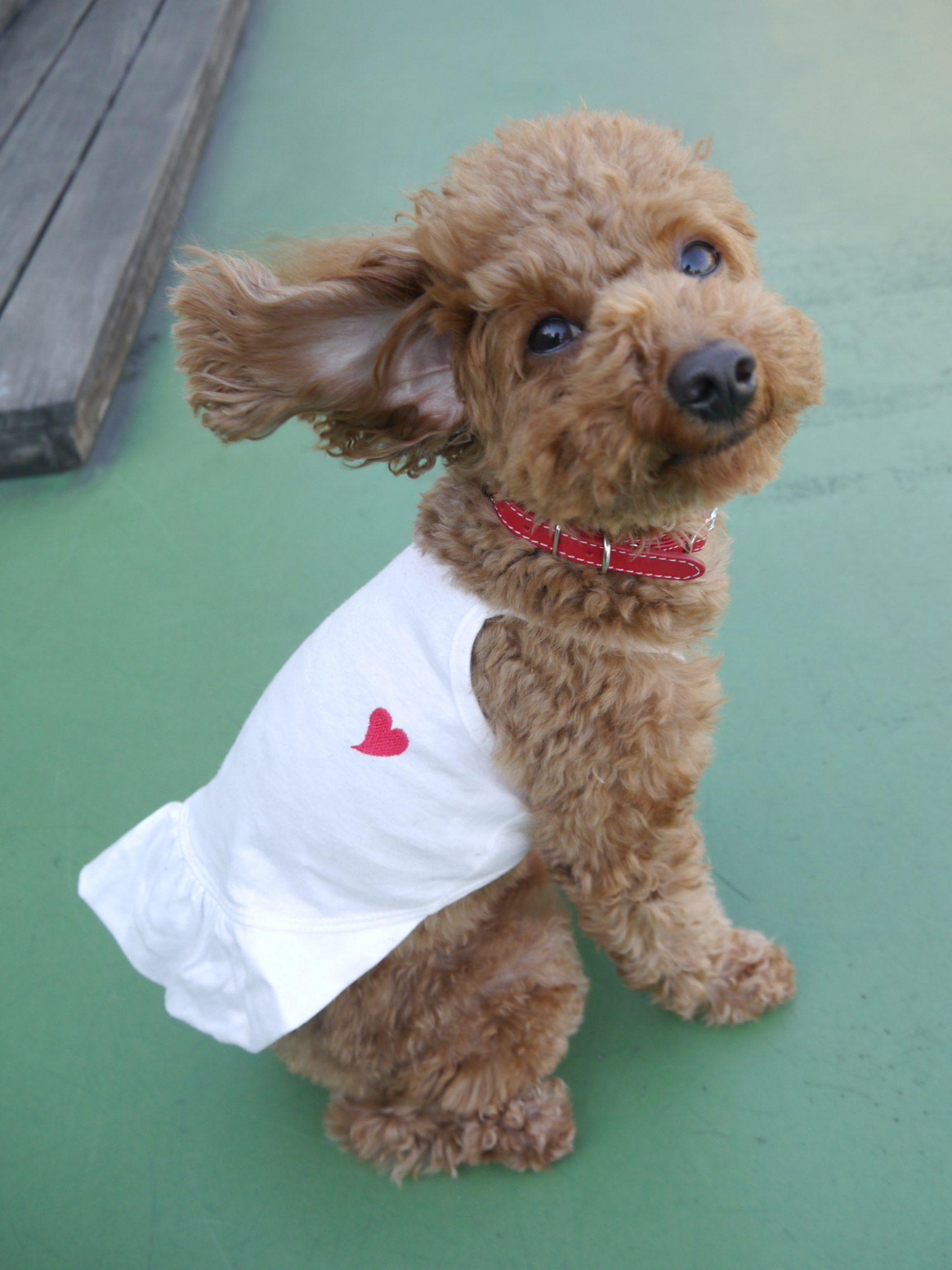 お名前 かのんちゃん 埼玉県在住 トイ プードル メス 3歳 2009年3月20日生まれ 抱っこ大好きの甘ったれ 感受性豊かでデリケート 空気を読める子です 好きな人 店員さんなどいっぱい Toy Poodle Poodle Dog Cute Dogs