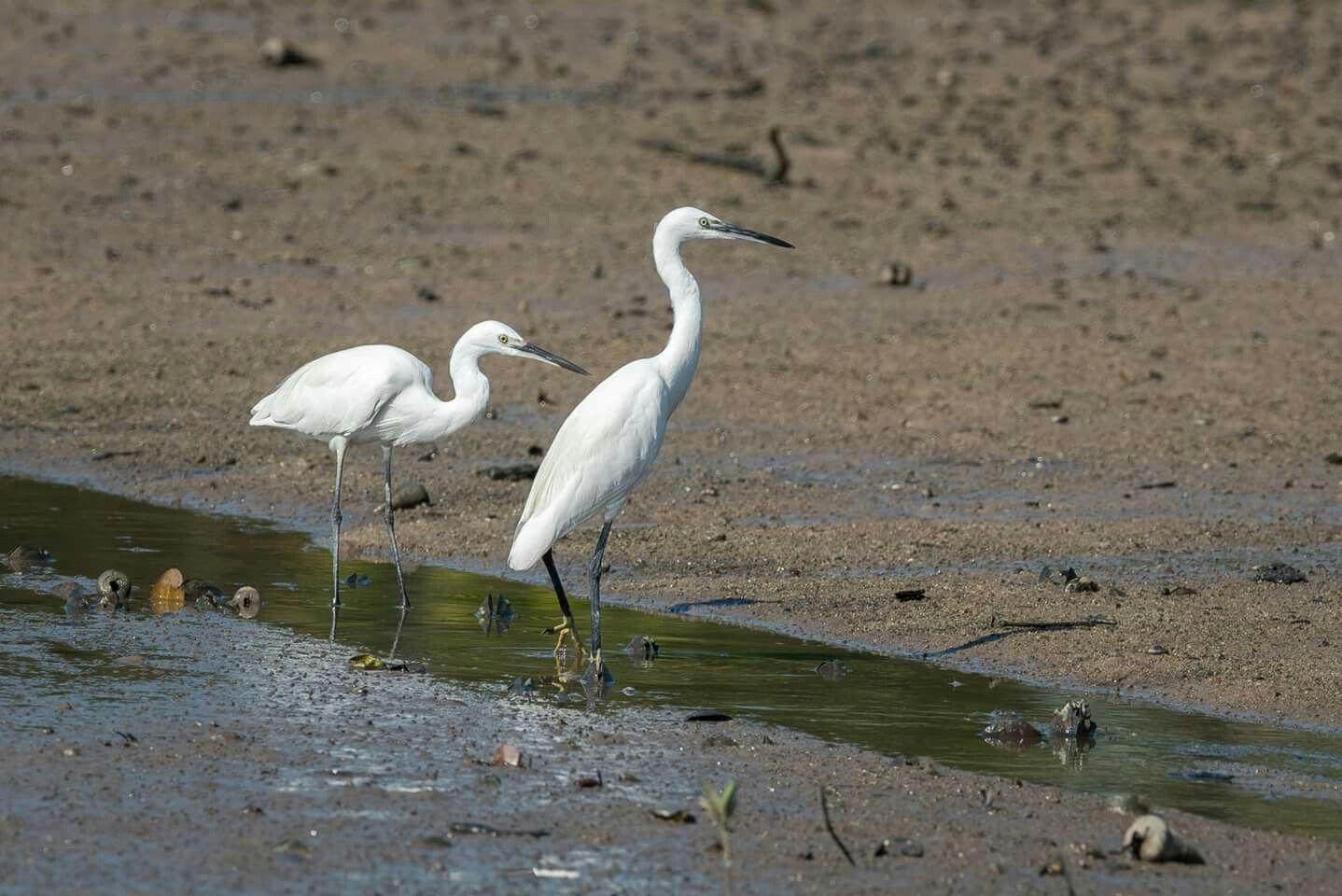 Little Egret #bird #nature #wildlife #egret #shorebird #animal #photography #nikon #telephoto