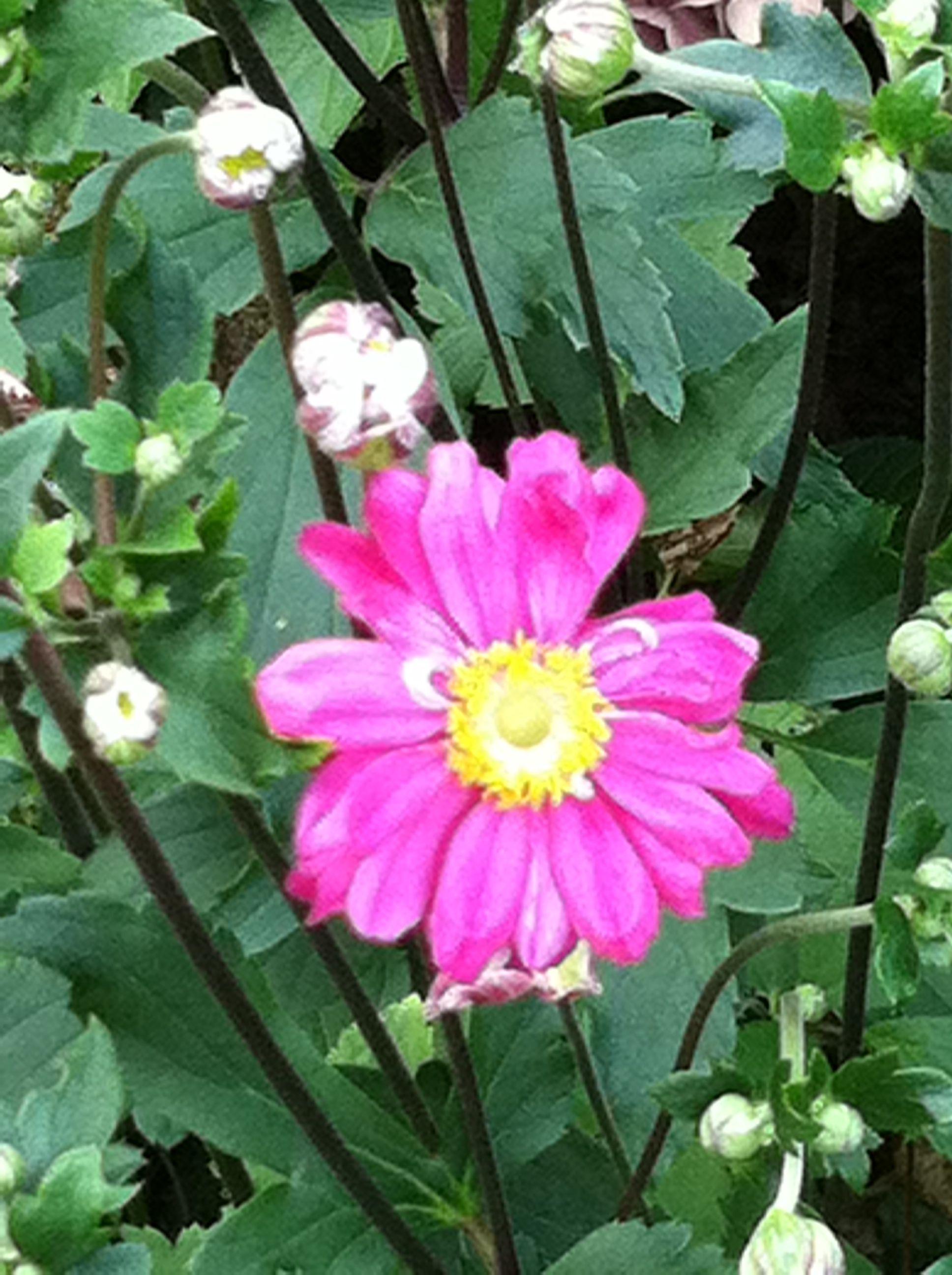 Anemones plants anemone garden