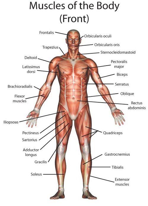Muscle Anatomy   Anatomy   Pinterest   Anatomía, Ejercicios y Músculos