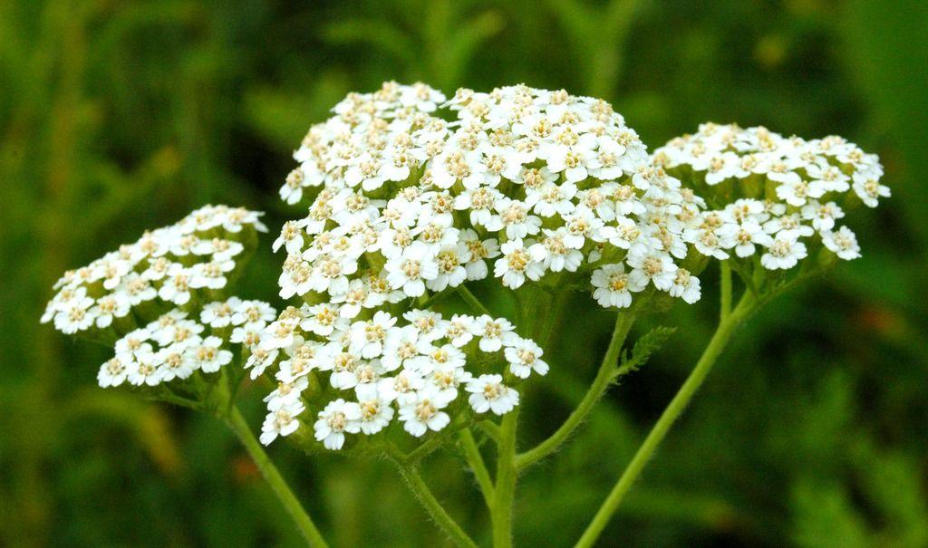 Yarrow S Healing Benefits Yarrow Plant Plants Achillea Millefolium