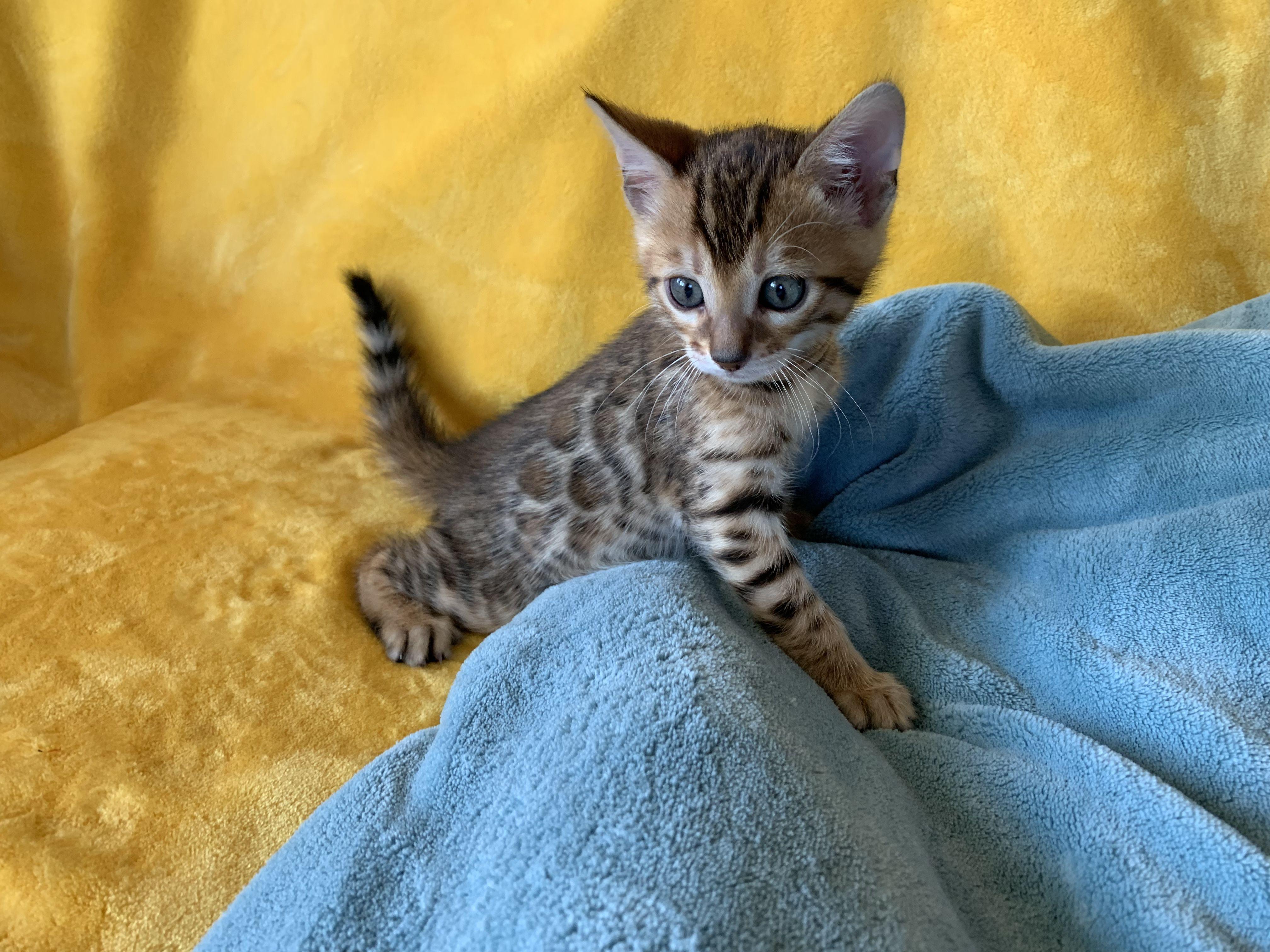 Bengal Kitten bengalkittens en 2020 Bengale
