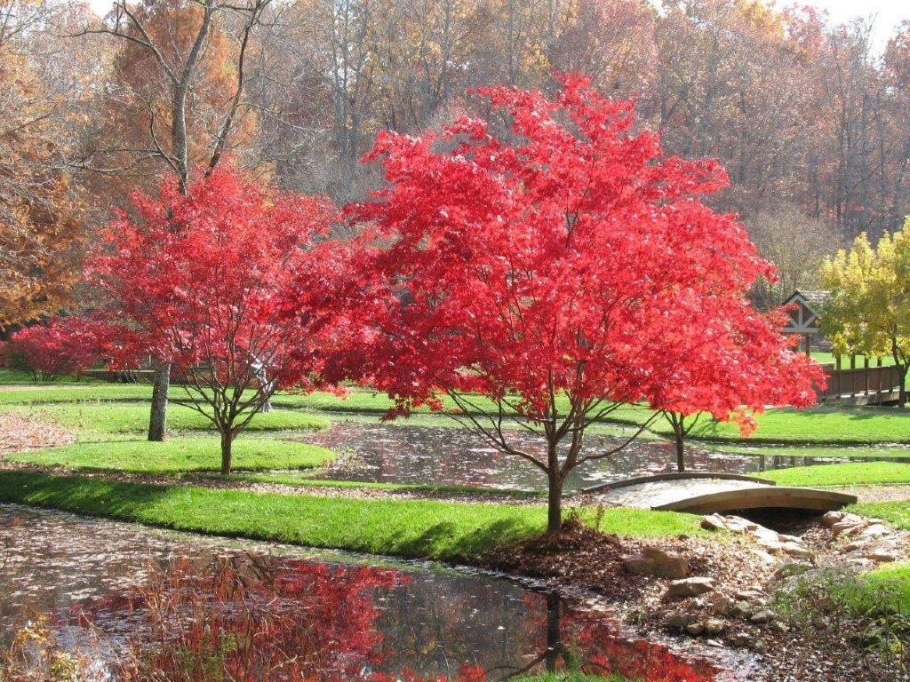 Japanese maples silva pinterest japanese maple for Small trees for japanese garden