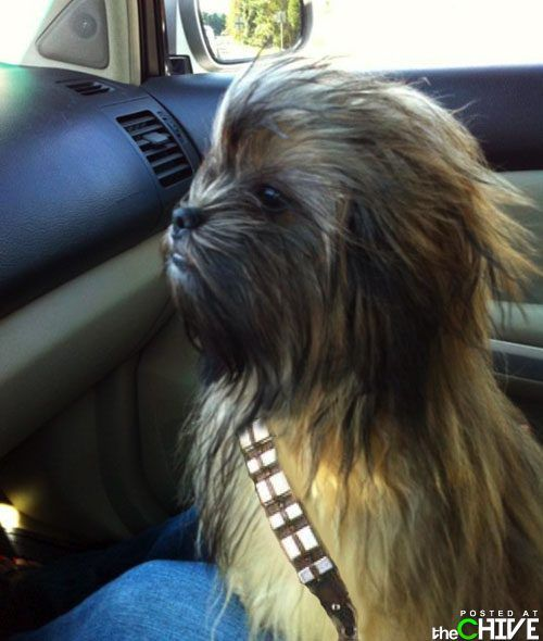 Chewbacca dog is awesome.