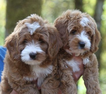 Ladd Hill Labradoodles Home Page Labradoodle Puppy Labradoodle Labradoodle Dogs