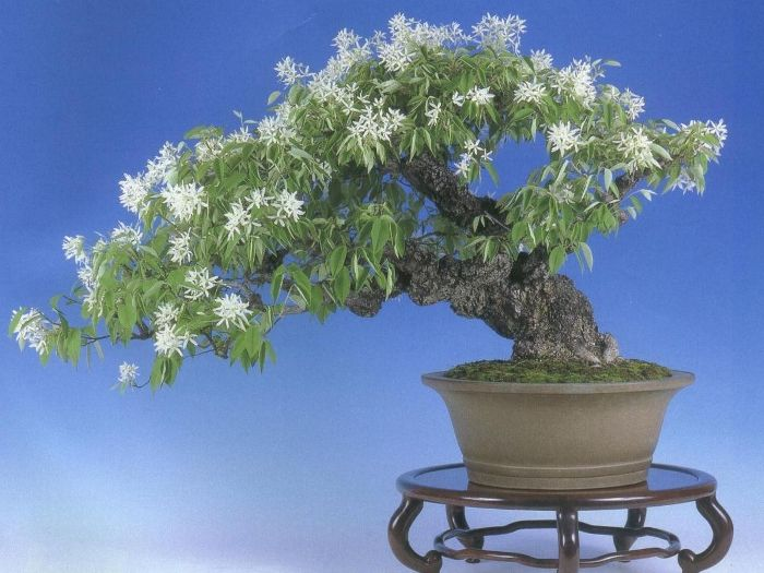 Magnolia Stellata bonsai tree: