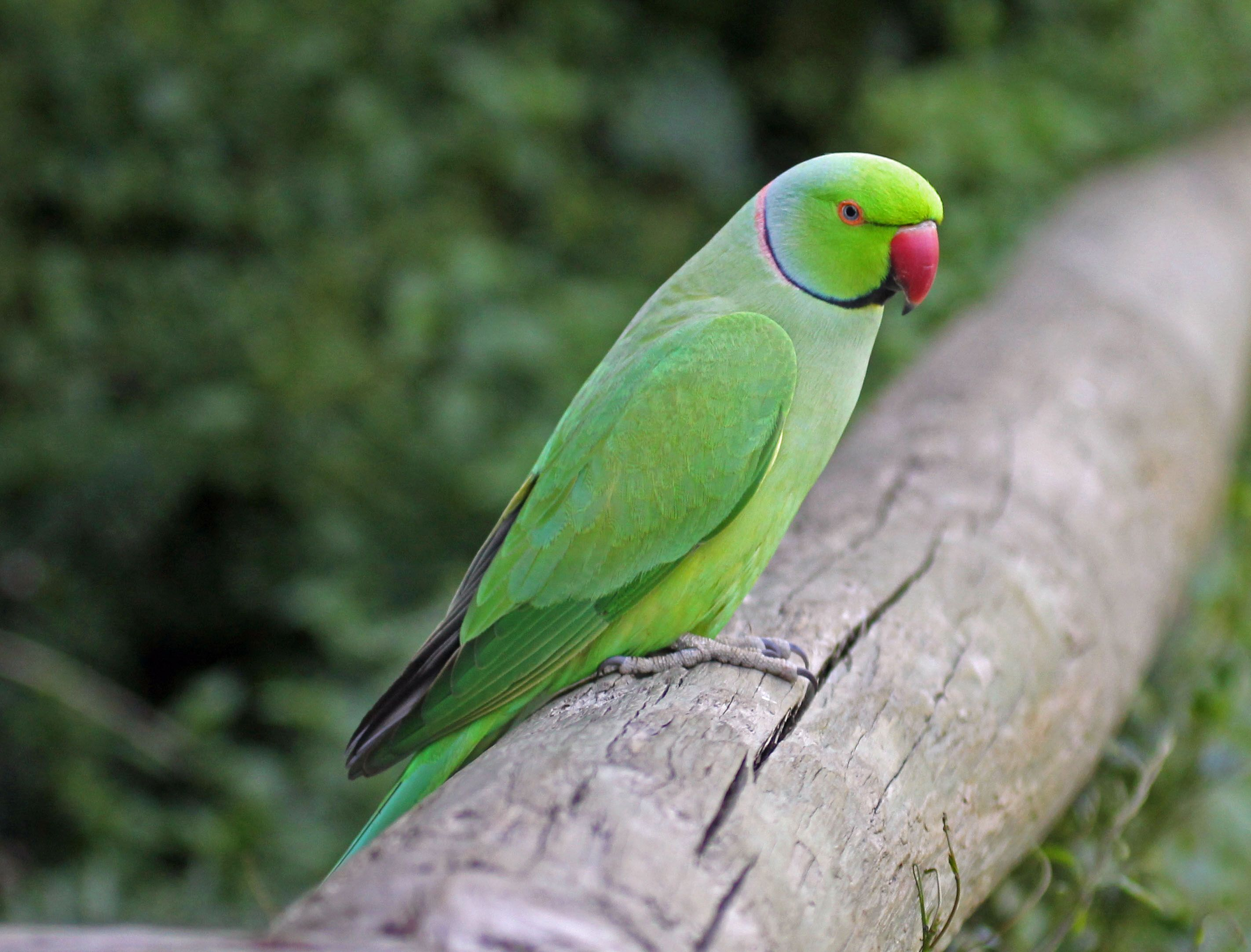 All parakeets are parrots, though not all parrots are parakeets ...