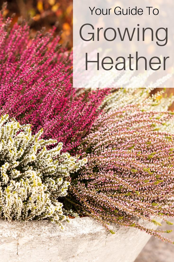 Allweather Gardening Allseason Colourful Gardener Growing Heather Colour Purple Shades Guide White Plant Heather Plant Heather Gardens Heath Plant