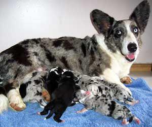 Pembroke Welsh Corgi Connecticut Pembroke Welsh Corgi Puppies For Sale Dogs For Sale Corgi Welsh Corgi Cardigan Welsh Corgi