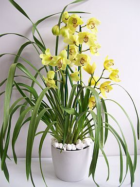 Cymbidium Orchid Care Instructions Orchid Care Cymbidium Orchids Care Orchid Care Orchid Leaves