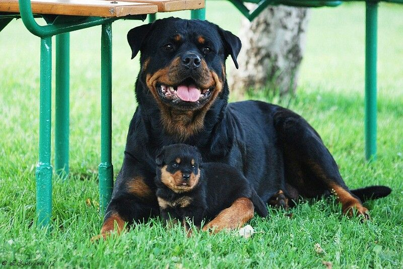 Mom And Baby Rottweiler With Images Guard Dog Breeds Best