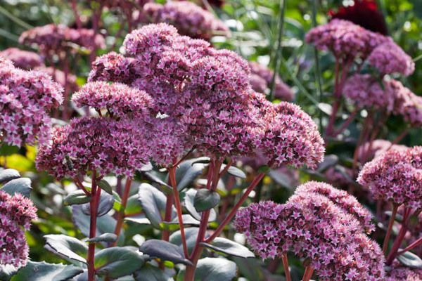 Long lived and drought tolerant, award-winner Sedum 'Matrona' is a fabulous sight in the landscape with its masses of pale pink flowers, densely packed in large umbrella-shaped flowerheads, and showing off atop sturdy ruby stems that keep them perfectly upright, coupled with the fleshy, purple-veined and purple-tinged leaves #largeumbrella