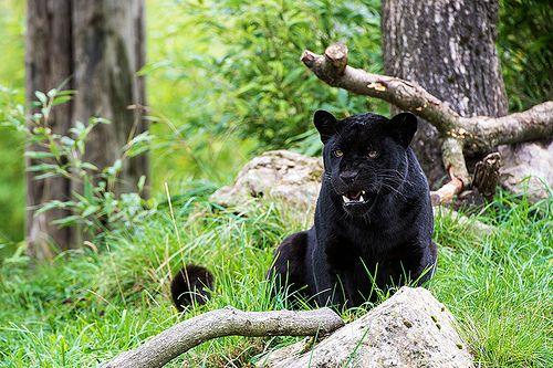 Chester Zoo 05 10 13 Felinidae Black Cats Black Jaguar Chester