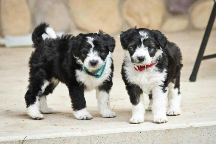 Borderdoodles or colliepoo or colliedoodle cross