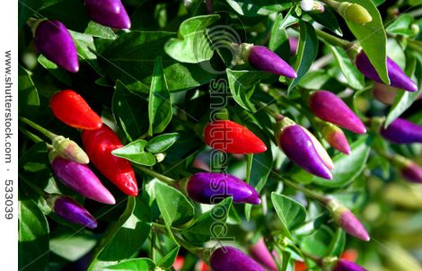 Red and Purple Chilli Peppers