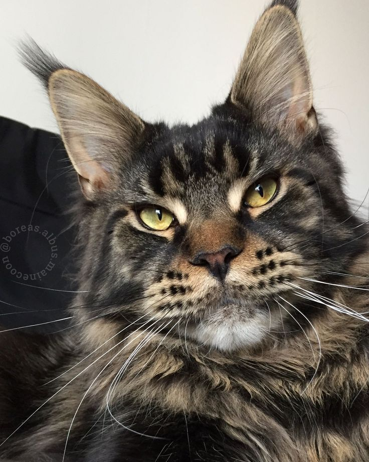 Pin on Maine Coon cats facts