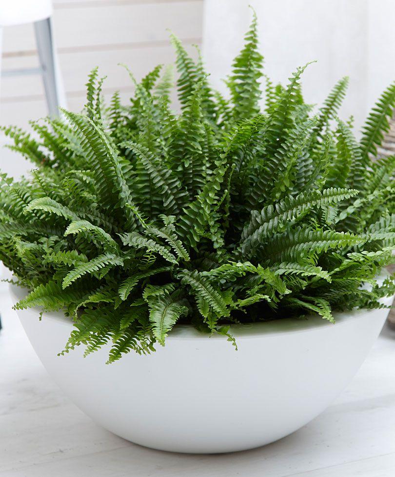 Airfreshening plant Boston Fern Plants from Spalding