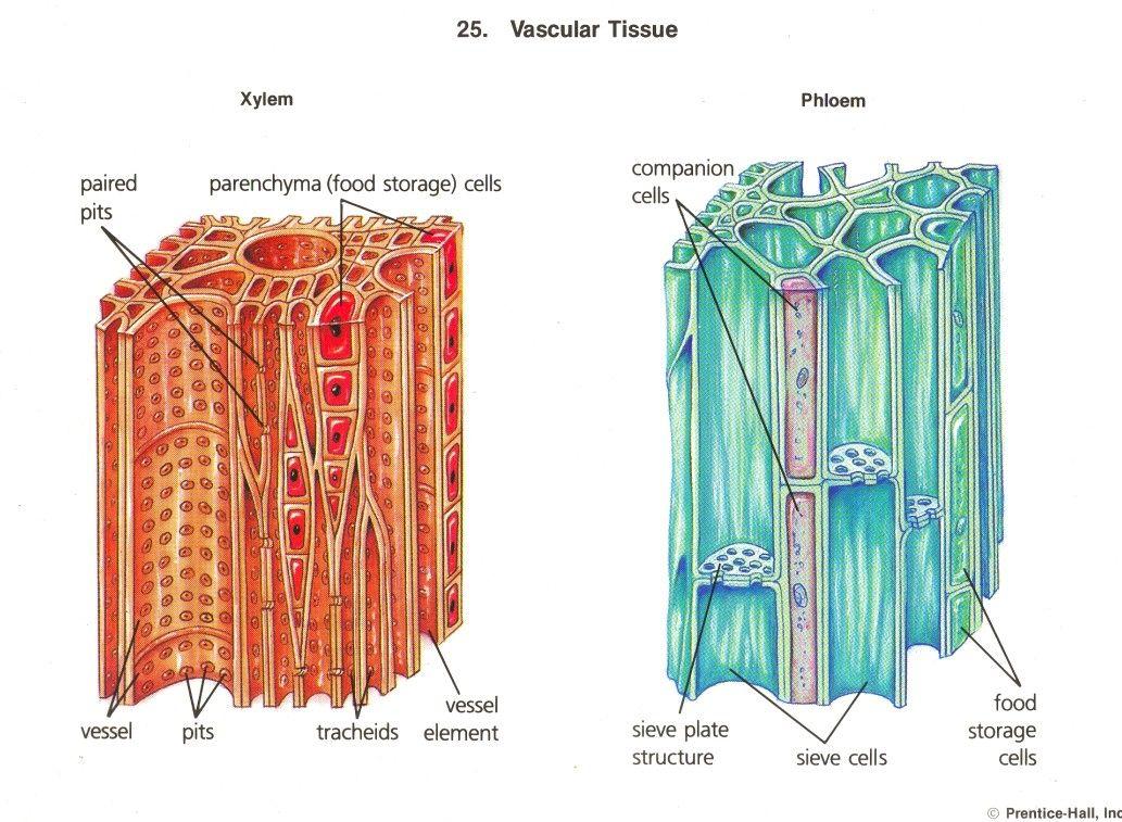 Xylem & phloem | Biology plants, Plant physiology ... Xylem Tissue Facts