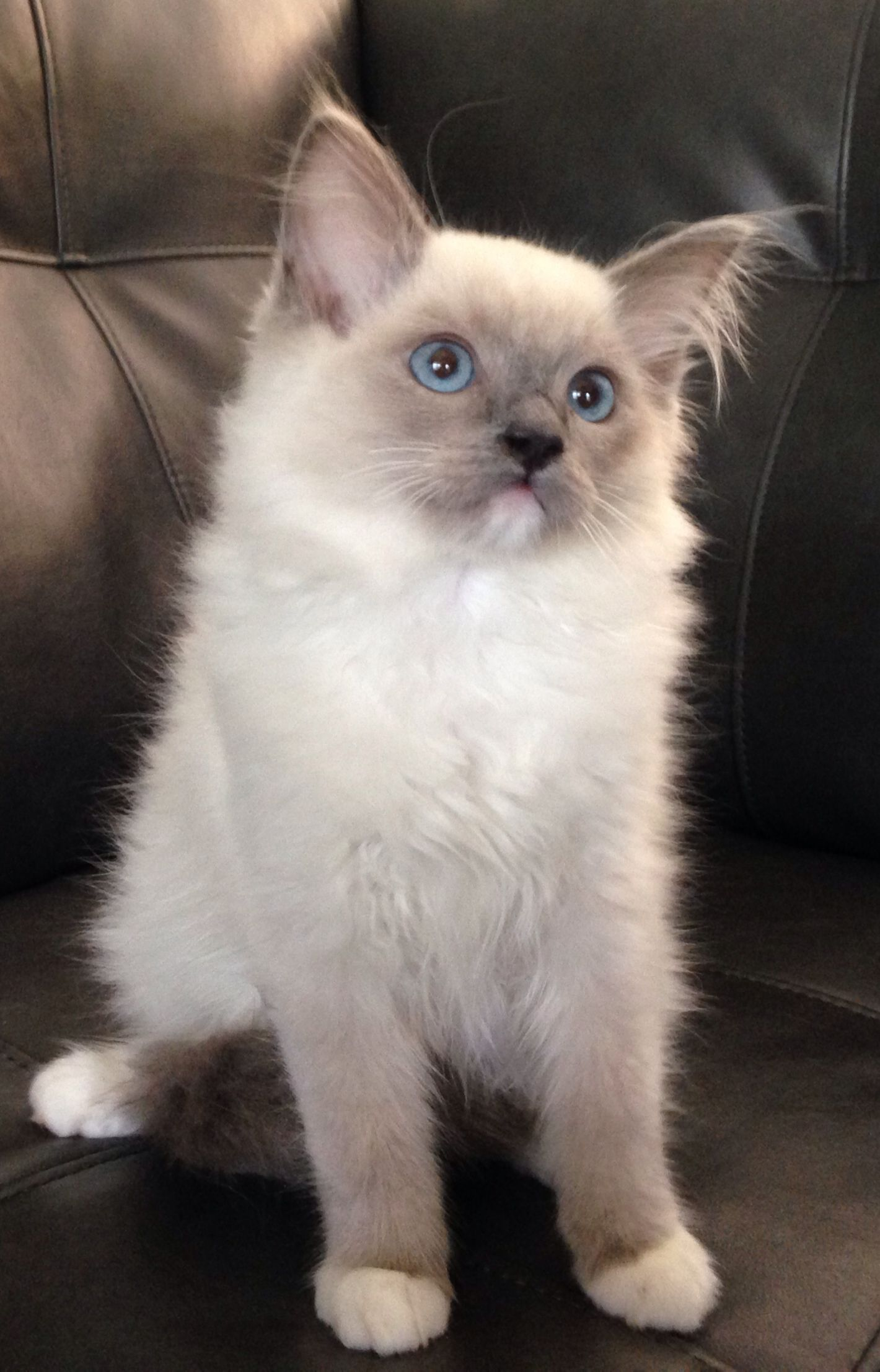 Blue Mitted Boy Cute Animals Super Cute Animals Ragdoll Cat