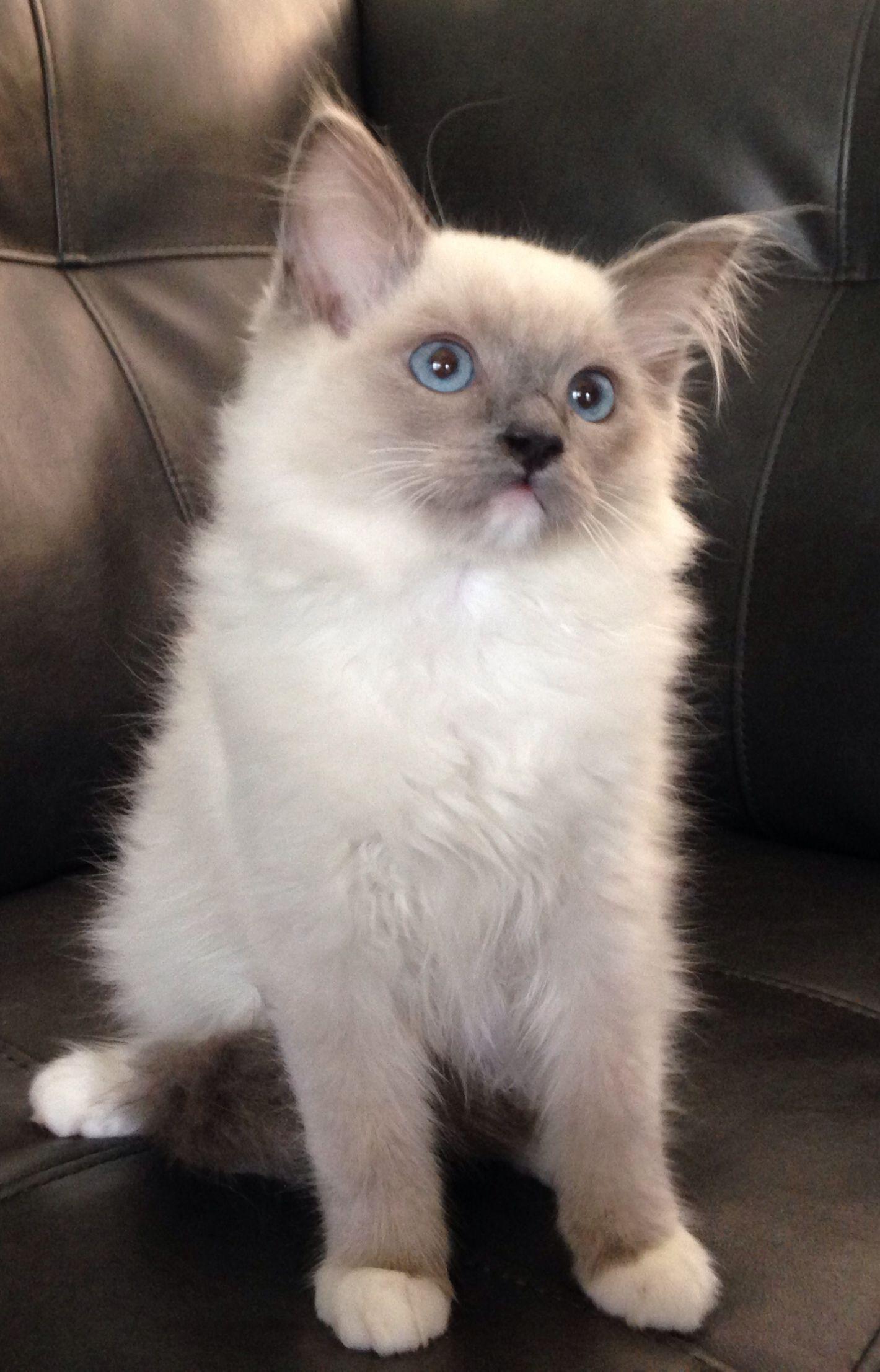 Blue mitted boy Ragdoll kittens Pinterest