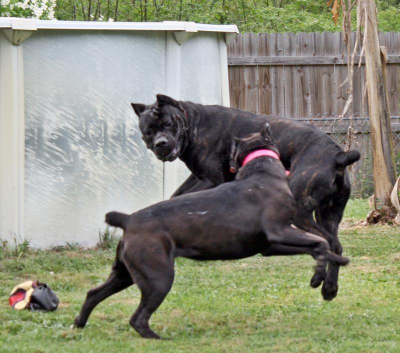 Pirates Den Cane Corso Home Cane Corso Cane Corso Dog Corso Dog