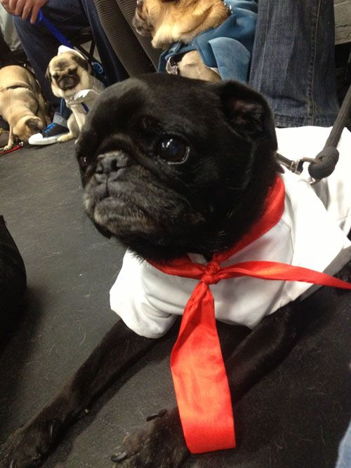 This Is What A Pug Halloween Party Looks Like Pugs In Costume