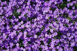 Almohada Azul, Flores, Violeta, Aubrieta