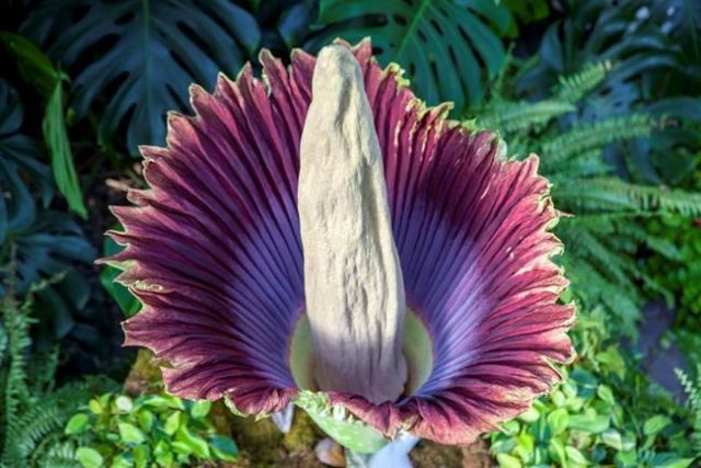 Putrid Flower Blooms With Images Corpse Flower Michigan Gardening Plants