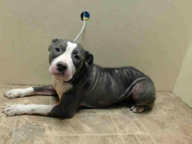 Pin By Kimberly Pratt On Pets 911 Animal Rescue Pets Pitbulls