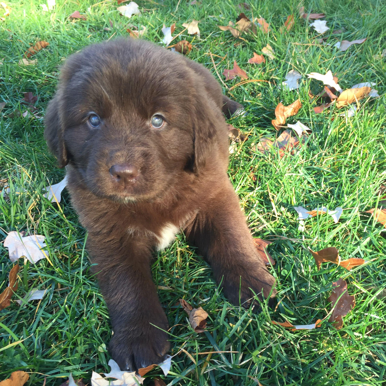 Gidget Moondoggie Brown Newfoundland With Green Eyes Labrador