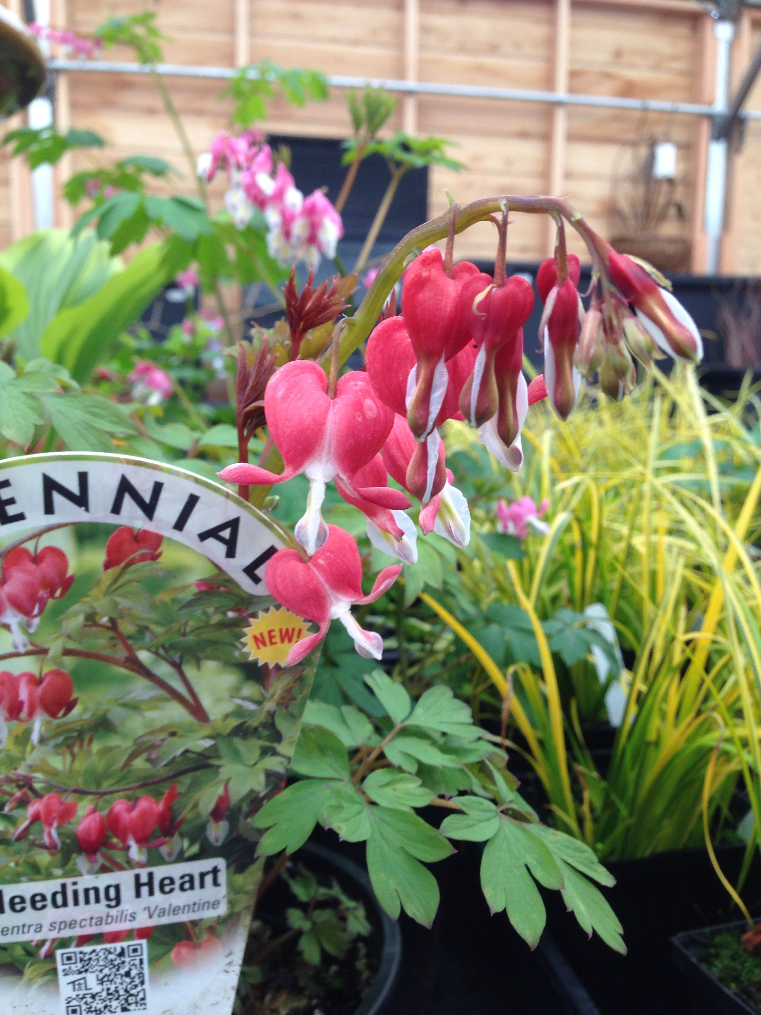 Dicentra Spectabilis Valentine A Red Bleeding Heart For The Partly Shaded Garden Spot Find Yours At Cornell Farm Bleeding Heart Shade Garden Low Lights