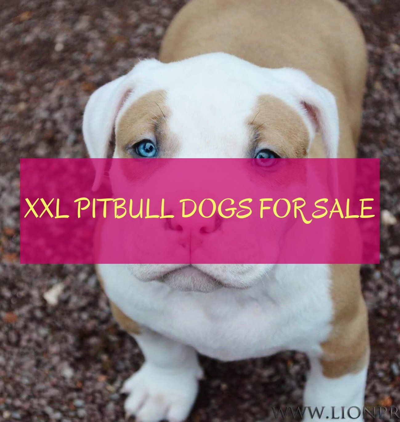xxl pitbull hunde zu verkaufen  xxl pitbull dogs for sale