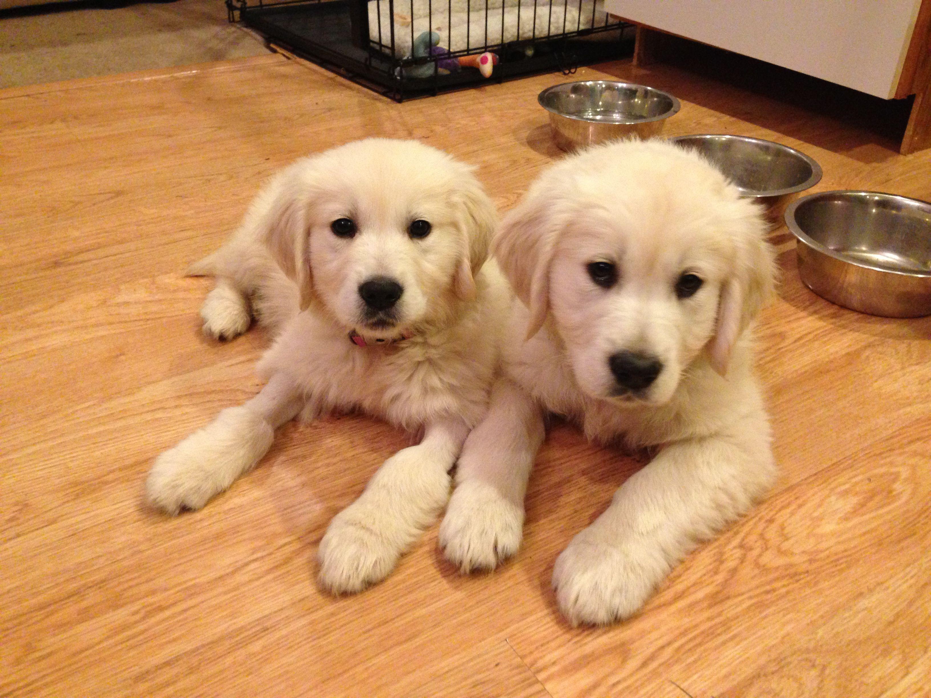 Brother Sister Duke Darcy White Golden Retriever Puppy