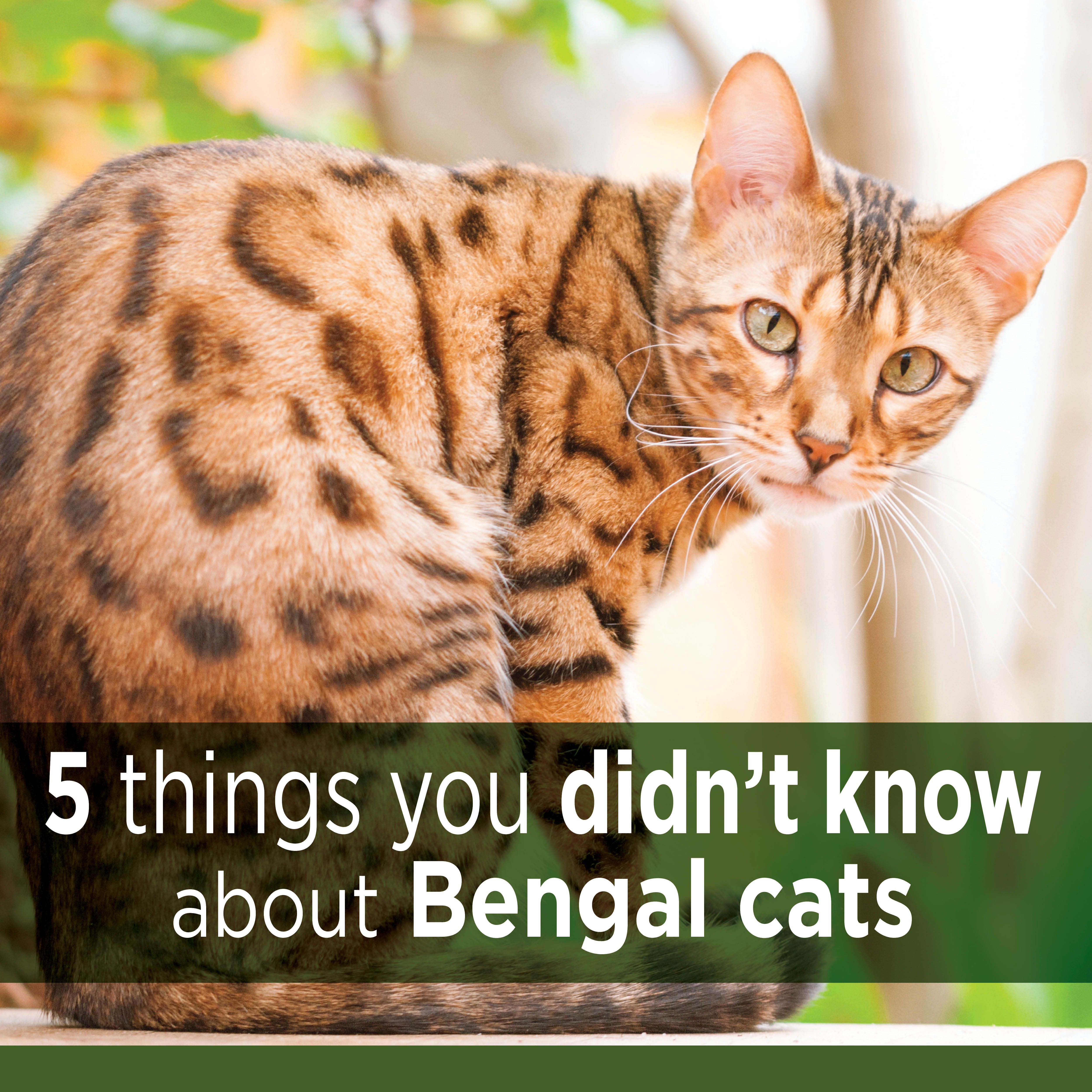 The Bengal cat came into existence after an Asian leopard cat was ...