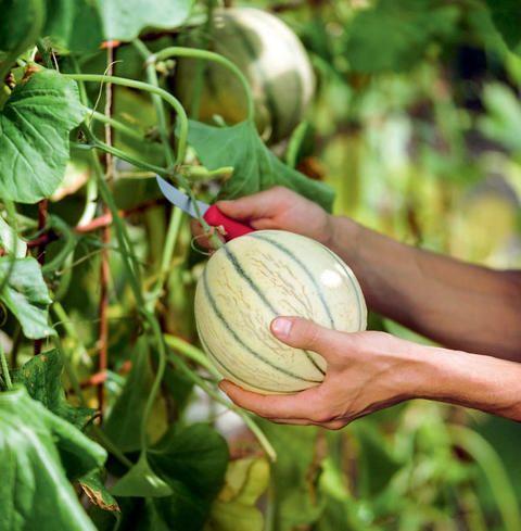 Große Melonen