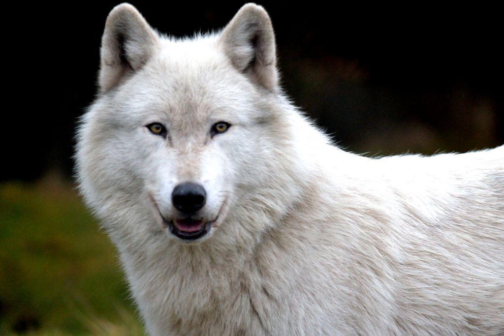 Wolf Haven Tenino, WA