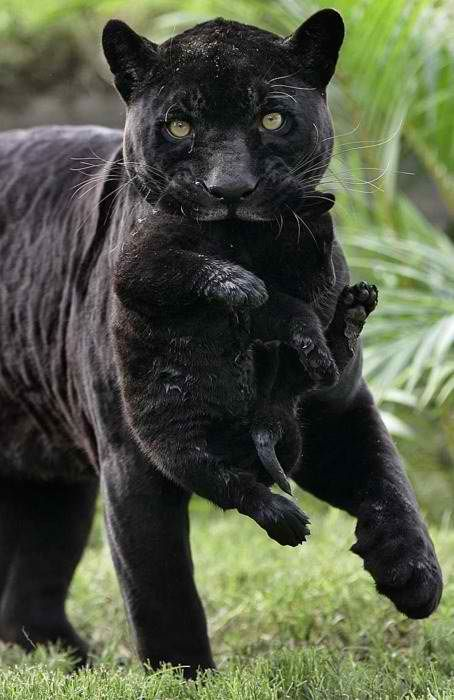 Black Jaguar Baby | Animals wild, Animals beautiful, Cute animals