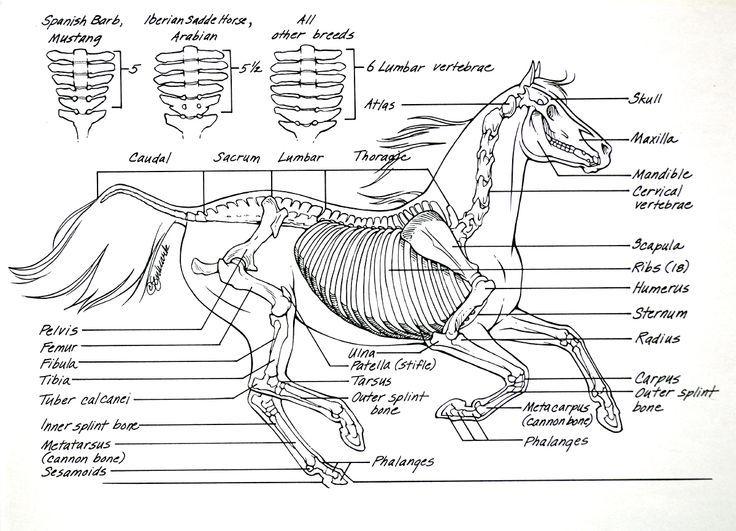 This Beautiful Drawing As All The Important Bones Of The Horse Skeleton Horse Anatomy Skeleton Jpg Anatomia Del Caballo Anatomia Del Esqueleto Anatomia Animal