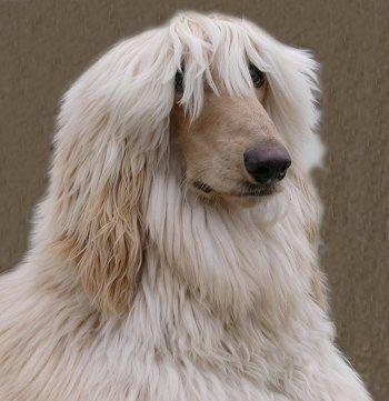 Long Wispy Bangs Afghan Hound Hound Dog Breeds Dog Breeds Pictures