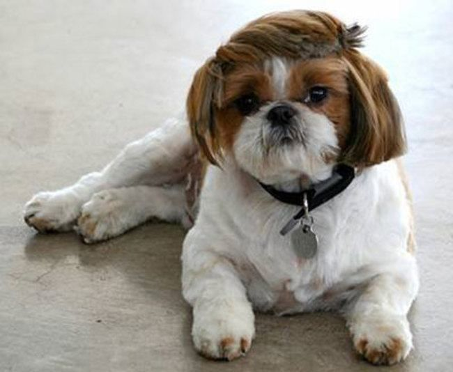 19 Dogs That Should Fire Their Hairdressers Pronto Shih Tzu Dog Shih Tzu Haircuts Funny Dogs