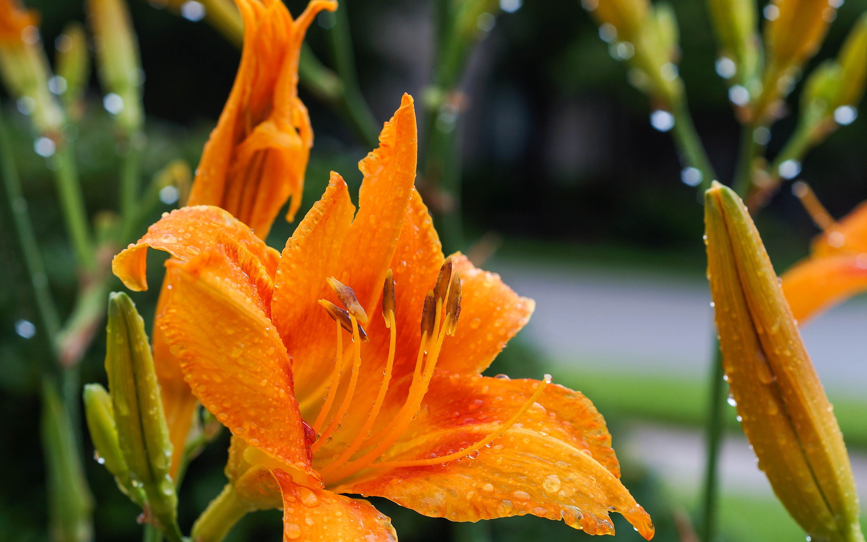 Daylily flower wallpapers pictures daylilies pinterest daylily flower wallpapers pictures izmirmasajfo