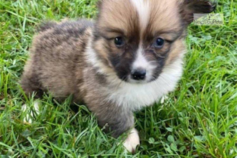 Twinkie Female Corgi For Sale In 2020 Corgi Puppies For Sale Pembroke Welsh Corgi Puppies Welsh Corgi Puppies