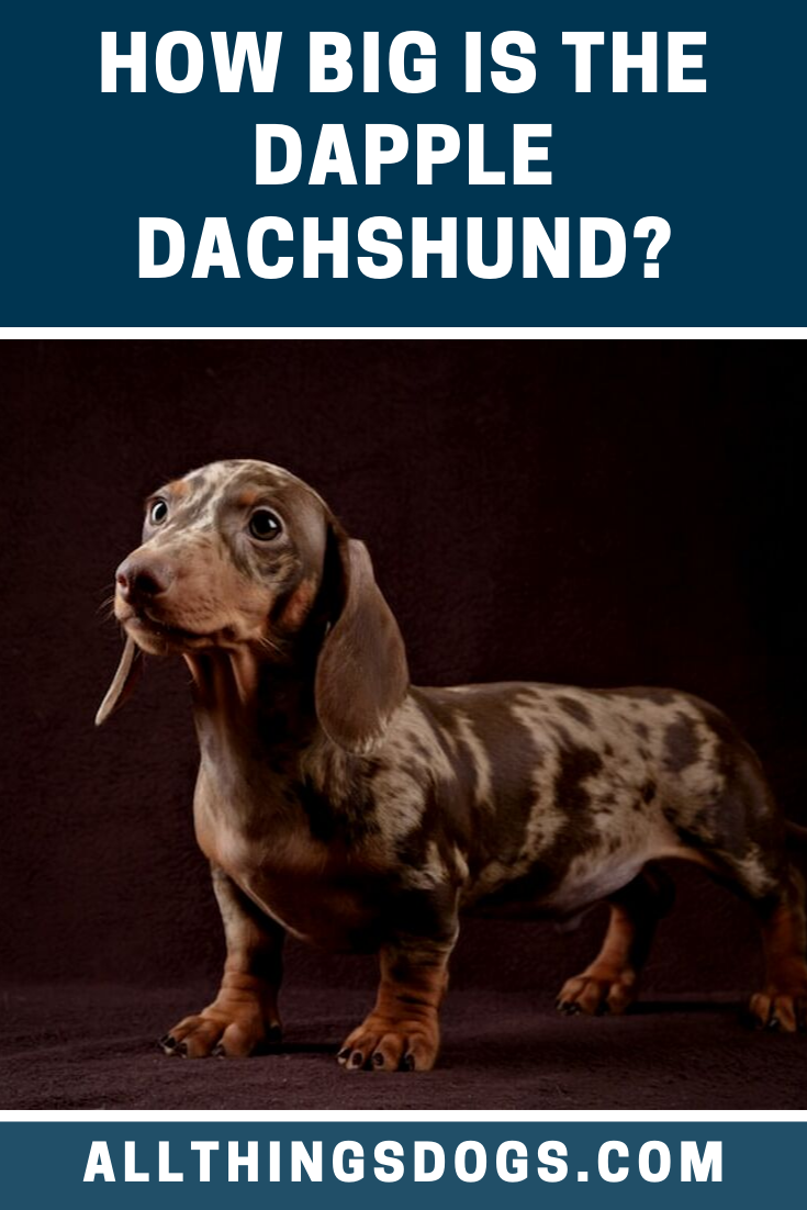 There Are Two Different Dapple Dachshund Sizes Standard And Miniature The Breed Standard Does Not High Dapple Dachshund Dachshund Colors Miniature Dog Breeds